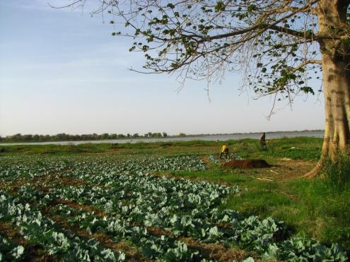 Un champ de choux tout vert... et de l'eau. Wow!