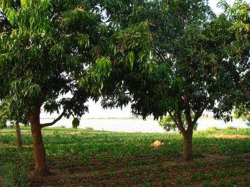 Mais les manguiers prospèrent toujours.