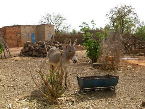 Une belle mule de Dédougou!