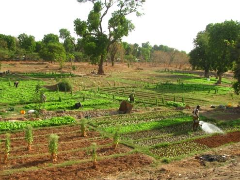 Les barrages de Ouaga abritent aussi des jardins, moins prospères que ceux de Goinré.